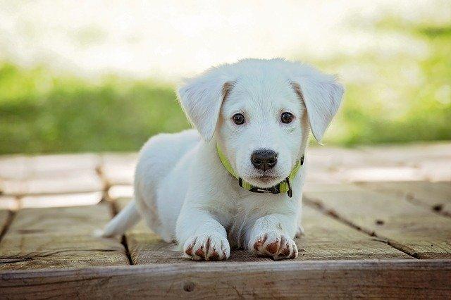 Sød hvid hund